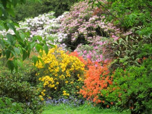Rhododendrons at Westonbirt Arboretum