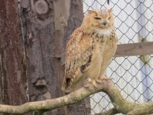 Asian Eagle Owl